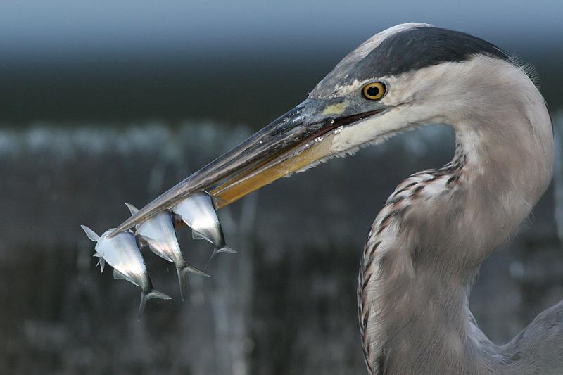great blue heron 232
