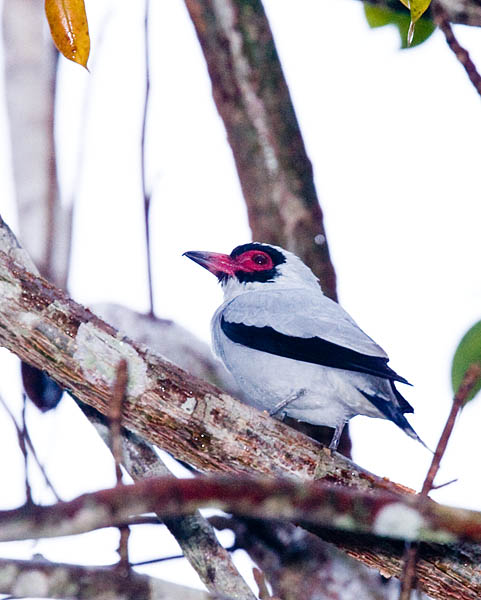 Masked Tityra - also taken from cabana.