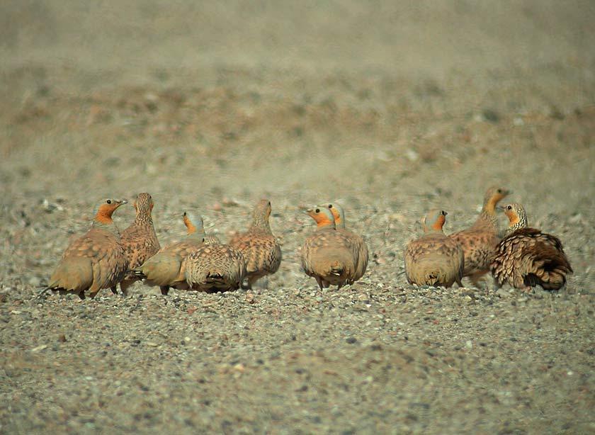 Spotted Sandgrouse (Pterocles senegallus)