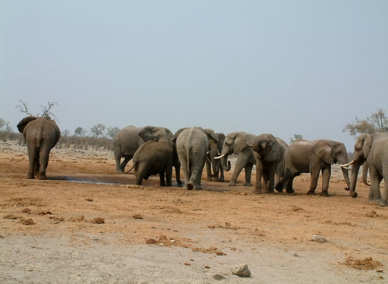 A group of bull elephants jostle for access to a small waterhole