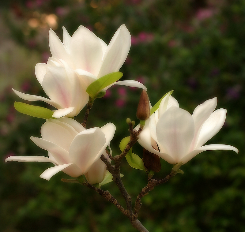 Magnolia - Alba superba