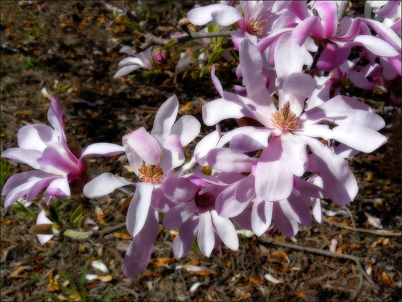 Magnolia x soulangeana Speciosa