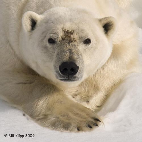 Polar Bear, Svalbard 1