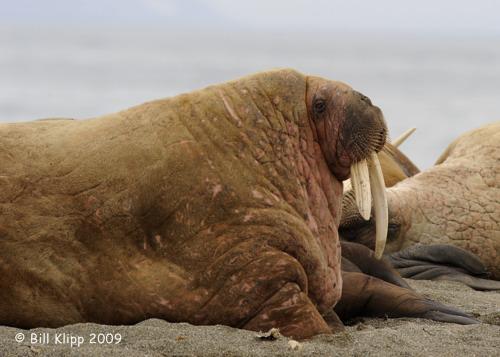 Walrus, Svalbard 1