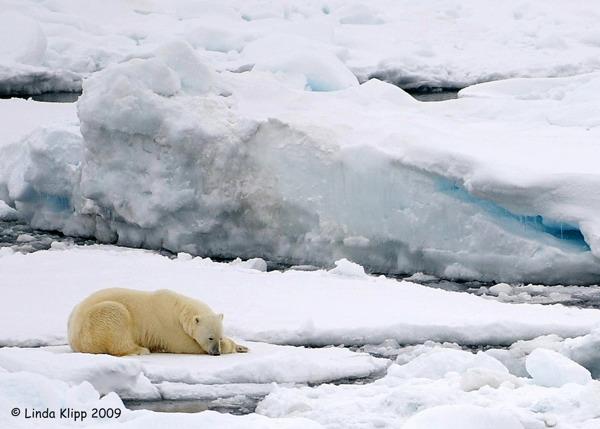 Polar Bear,  Svalbard Norway 1