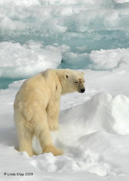 Polar Bear,  Svalbard Norway 5