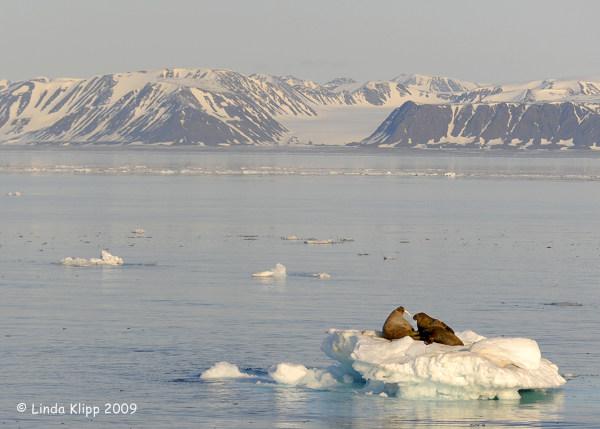 Walrus, Moffen Island Svalbard 2