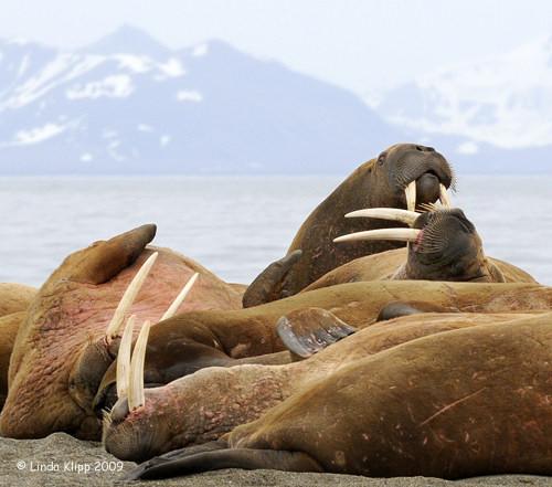 Walrus, Prins Karls Forland Island Svalbard 3