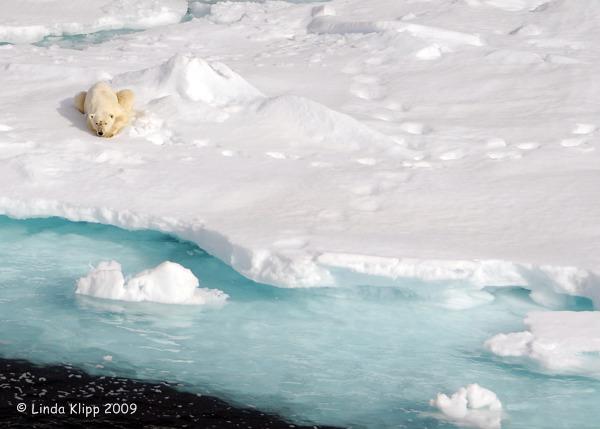Polar Bear,  Svalbard Norway 10