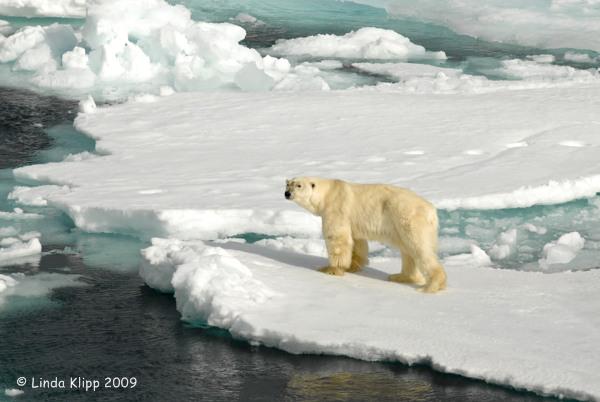Polar Bear,  Svalbard Norway 12