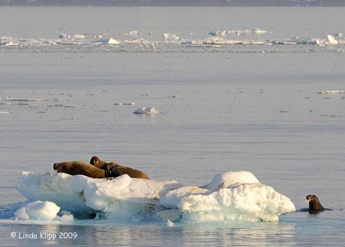 Walrus, Moffen Island Svalbard 4