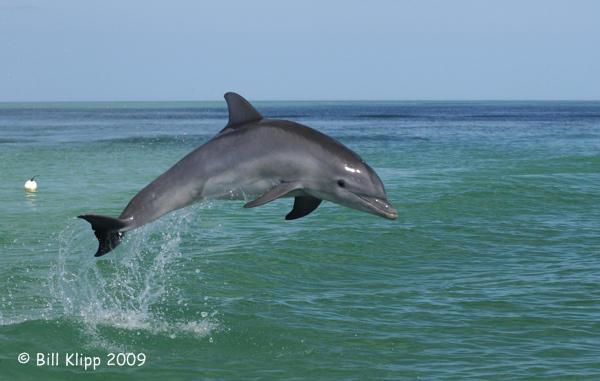 Bottlenose Dolphin 3