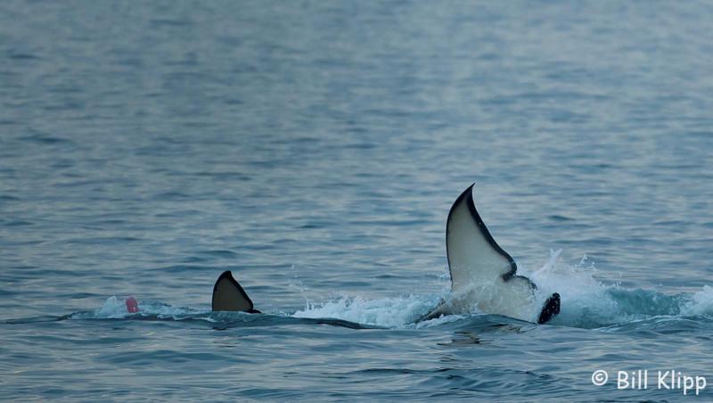 Killer Whale Pink Flyod,  San Juan Islands  1