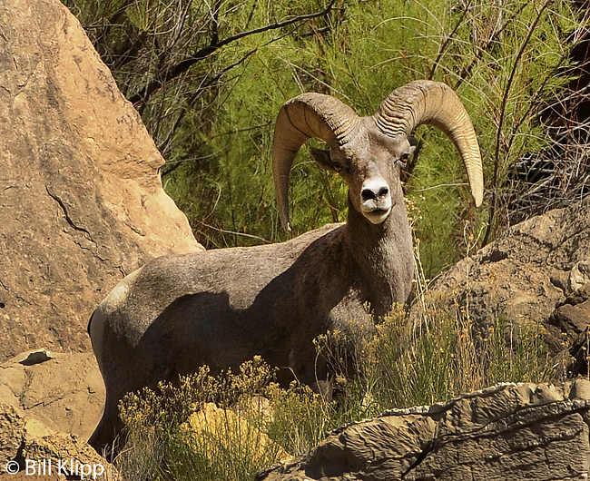 Big Horn Sheep  3