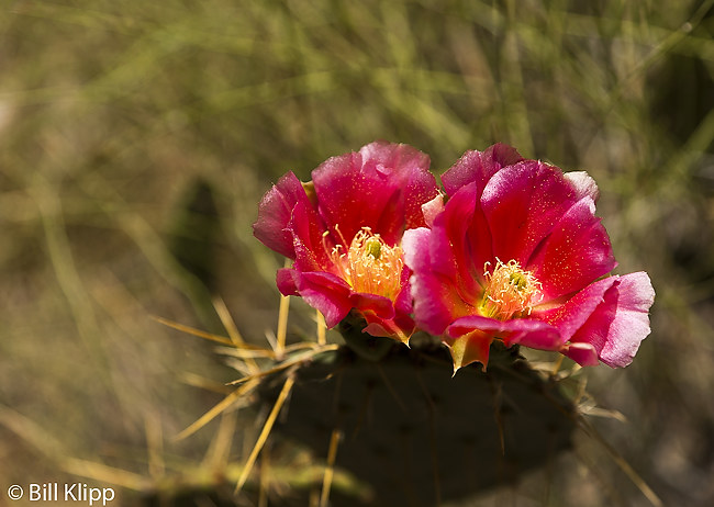 Prickly Pear Flower  2