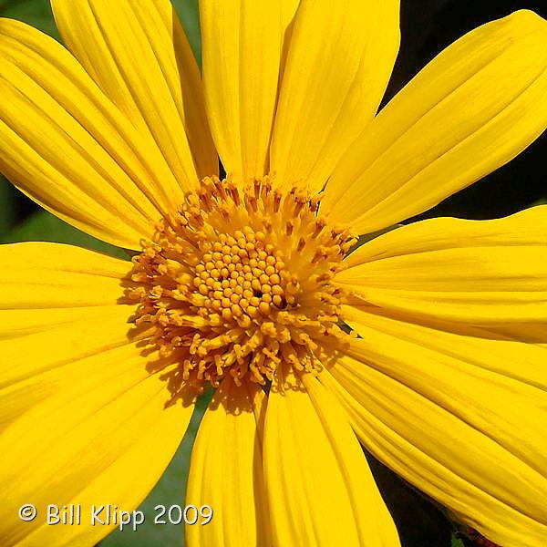 Mexican Sunflower, Cuba