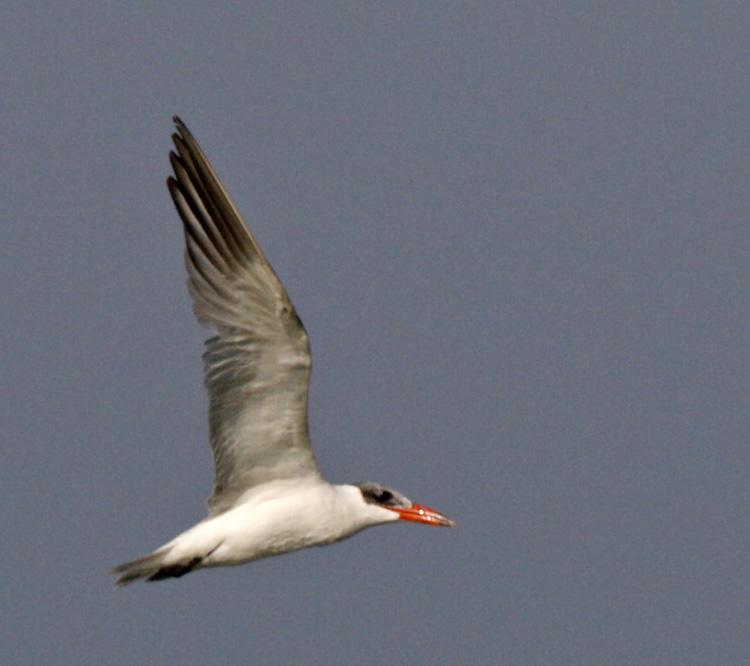 169 - Caspian Tern