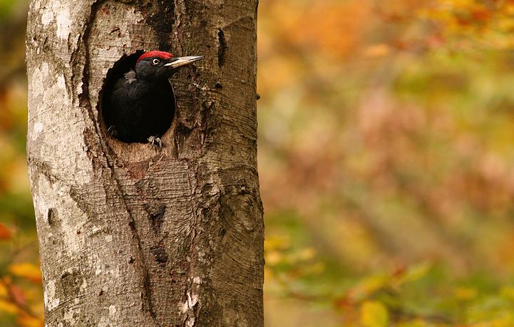 Dryocopus martius Black Woodpecker