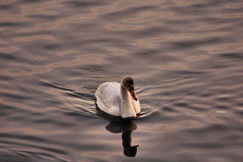 trumpeter swan.jpg