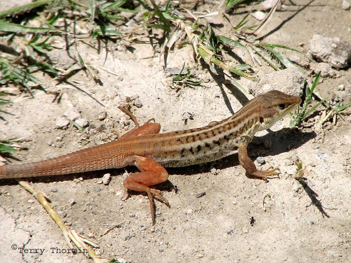 Bushveld Lizard D1a - Mayana Village.jpg