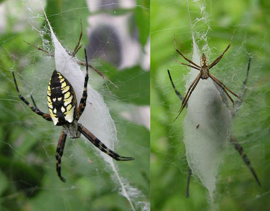Argiope aurantia - male and female on web