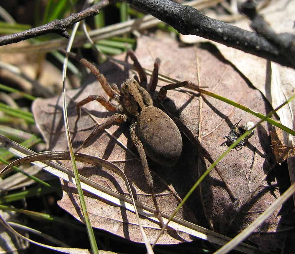 Alopecosa aculeata? - Wolf spider