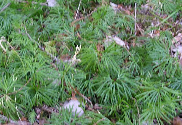 Diphasiastrum digitatum - Southern Ground Cedar