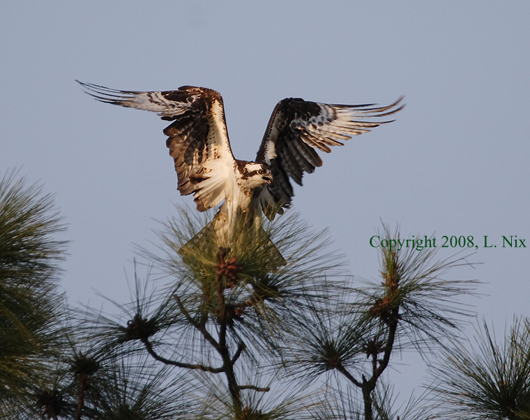 Osprey_ Wings High