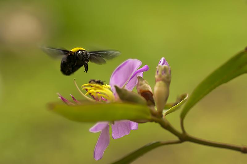 Japanese carpenter bee