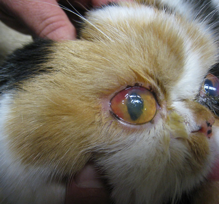 Cat Eye Infection Corneal Ulcers Photo Gallery By Tencats At Pbase Com