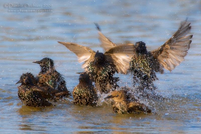 Common Starling (Sturns vulgaris)