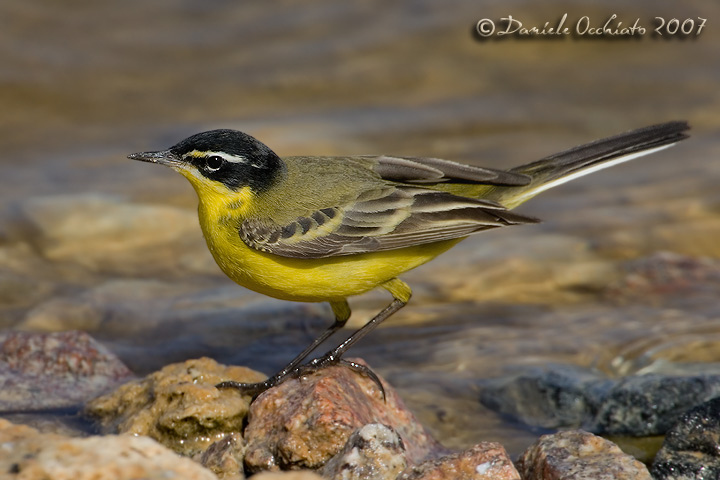 Black-headed Yellow Wagtail (Motacilla flava ssp feldegg superciliaris)