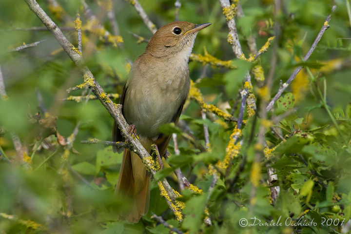 Nightingale (Luscinia megarhynchos)