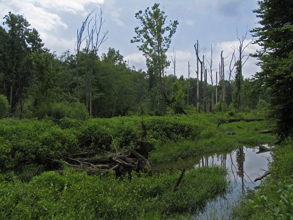 The swamp downstream of Dial Creek