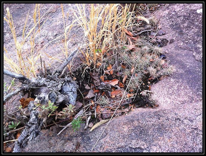 Cactus on granite
