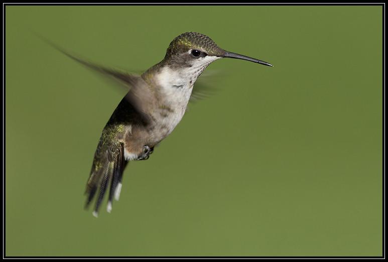 Ruby-throated hummingbird <div class=cr>©  Liz Stanley</div>