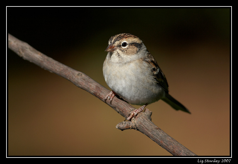 Chipping sparrow <div class=cr>©  Liz Stanley</div>