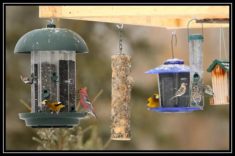 Blue Spruce feeding station