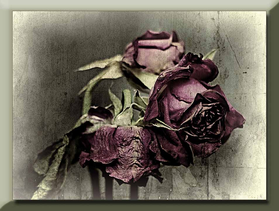 a faded trio of red roses...