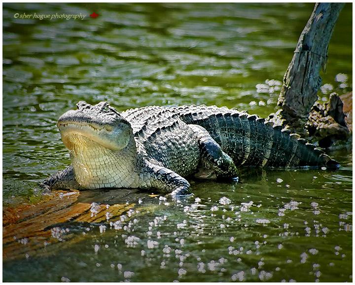 louisiana-gator1.jpg