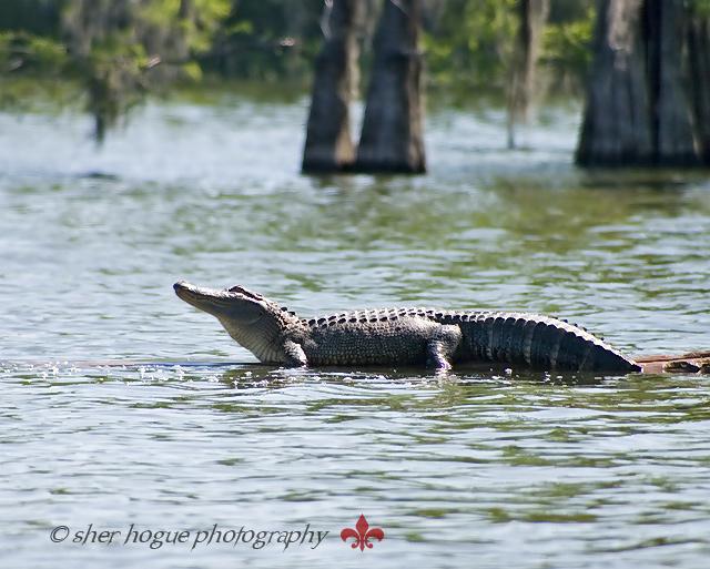 louisiana-gator2.jpg