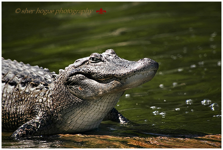 louisiana-gator-3.jpg