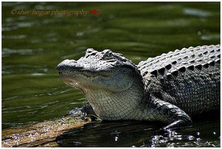louisiana-gator-4.jpg