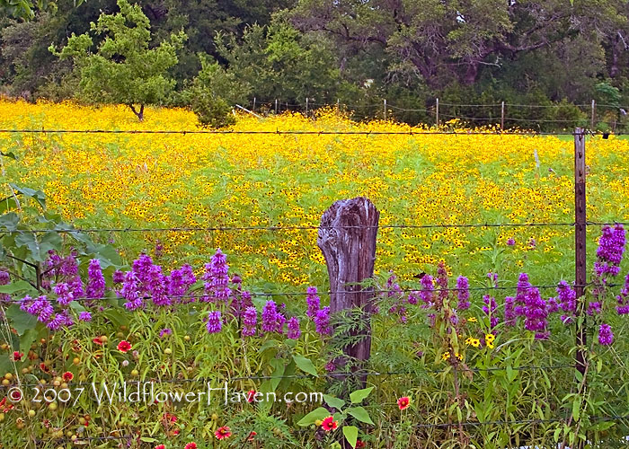Still Wildflower Color in the Hill Country