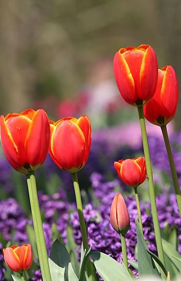 keukenhof tulips 4