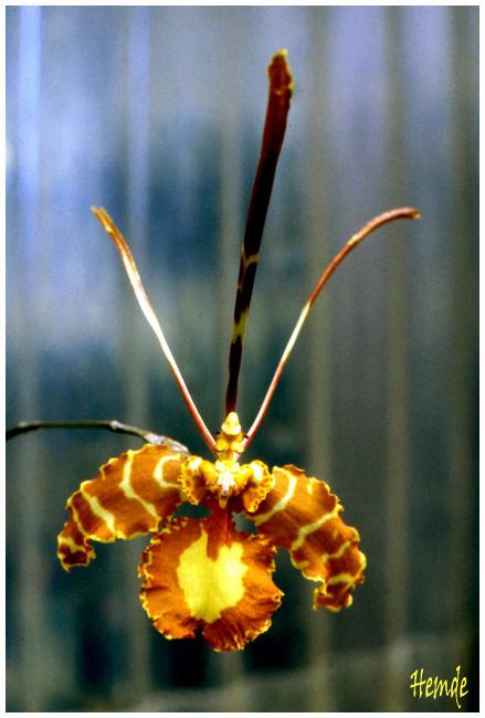 Oncidium (Psychopsis) papilio
