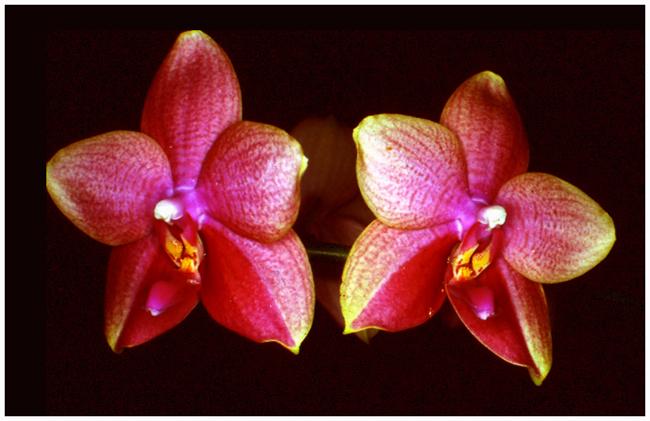 Phalaenopsis Memory  R.A. Brown