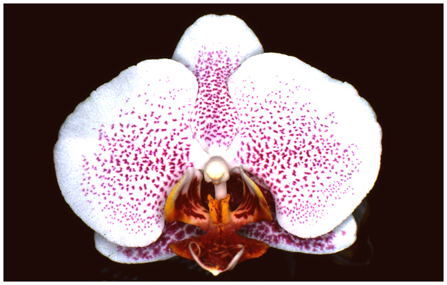 Phalaenopsis Elise de Valec  Chantal