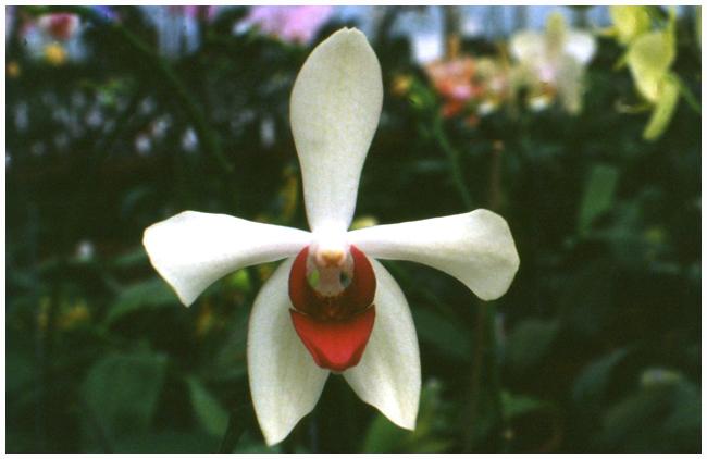 Vandaenopsis Mary da Costa Mc Kenzie AM-AOS (J.  & Sc.)