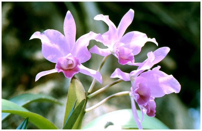 Cattleya species (3)